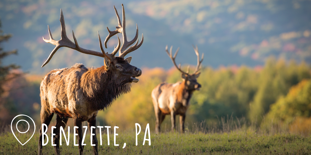 Photo of elk in Benezette, PA